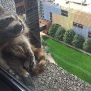Un raton laveur devient la star de Twitter après avoir escaladé un immeuble