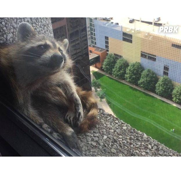 Un raton laveur devenu star de Twitter après avoir escaladé un immeuble