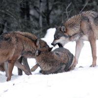 Des vrais loups-garous en France ? On n'est pas les seuls à flipper !