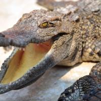 Australie : un Français castagne un croco à mains nues pour survivre