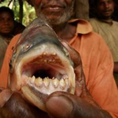 """Pacu : le poisson """"découpeur de testicules"""" débarque en Europe"""