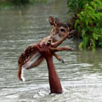 [CUTE] Un enfant courageux risque sa vie pour sauver un faon de la noyade
