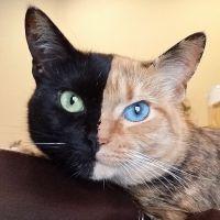 [CUTE] Venus, le chat aux deux visages garanti sans montage