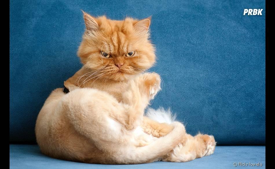 garfi un chat persan qui a la cote sur le net. Black Bedroom Furniture Sets. Home Design Ideas
