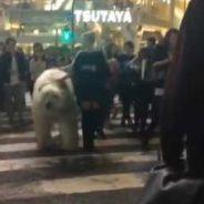 Choc : un ours polaire tenu en laisse en plein coeur de Tokyo