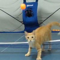 Un chat qui déchire au ping pong : du bol de croquettes à la raquette !