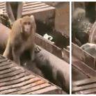 Incroyable : un singe sauve la vie d'un autre en Inde !