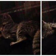 Trop mignon : un chat un peu bête se bat... contre sa propre patte !