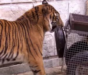 Tony Parker VS un tigre dans Fort Boyard, le 25 juillet 2015 sur France 2