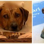 Un chien courageux risque sa vie et prend 5 balles pour défendre sa maison face aux cambrioleurs