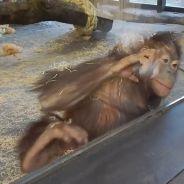 La réaction adorable et drôle d'un singe face à un tour de magie