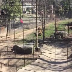 Inconsciente, une mère s'aventure dans la fosse aux tigres devant son fils... pour un chapeau