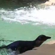 Deux bébés pingouins nagent pour la toute première fois : la vidéo craquante
