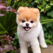 Boo : le chien le plus mignon (et connu) d'Internet est mort