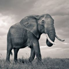 Massacre à la tronçonneuse : un voleur coupe une défense d'éléphant dans un musée parisien