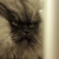 """Colonel Miaou : le """"chat le plus poilu du monde"""" dans le Livre des Records"""