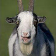 Brésil : un homme va épouser... une chèvre