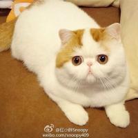 Snoopyface, Grumpy Cat et Maru : les trois chats qui font miauler la toile