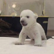 Le bébé ours polaire le plus mignon du monde débarque sur Youtube
