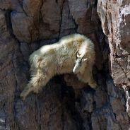 [PHOTOS] La chèvre de montagne, l'animal le plus casse-cou de la planète : la preuve en images