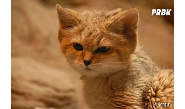 Gut bekannt CUTE] Le chat des sables, l'animal le plus mignon du désert en 15  TZ01