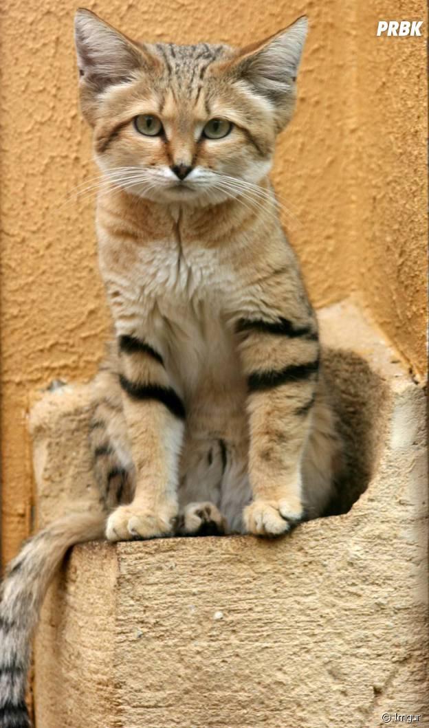 Gut bekannt CUTE] Le chat des sables, l'animal le plus mignon du désert en 15  GV28