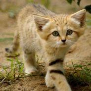[CUTE] Le chat des sables, l'animal le plus mignon du désert en 15 photos