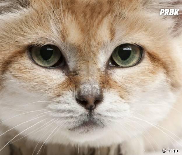 Cute le chat des sables l 39 animal le plus mignon du - Chat des sables a vendre ...