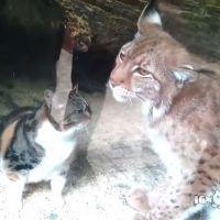 [CUTE] Cette amitié entre un chaton et un lynx va vous faire craquer