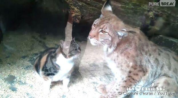 Ce chaton et celynx boréaldu Zoo de St-Petersbourg se sont liés d'amitié
