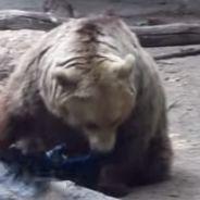 [CUTE] Un ours sauve un oiseau de la noyade