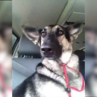 Finie la danse de l'épaule : cette chienne invente la danse des... oreilles !