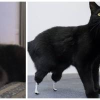 Blessé aux pattes arrières, ce chat a été sauvé grâce à des prothèses bioniques