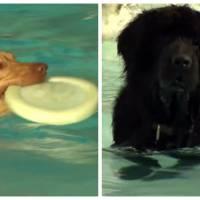 Pour le dernier jour des vacances, cette piscine canadienne a ouvert ses bassins... aux chiens !