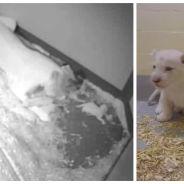 Adorable : 4 bébés lions blancs, rares et trop mignons, sont nés à Toronto