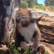 Les pleurs de ce bébé koala chassé de son arbre vont vous faire fondre