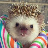 Huff : ce bébé hérisson aux dents de vampire est la nouvelle star du web