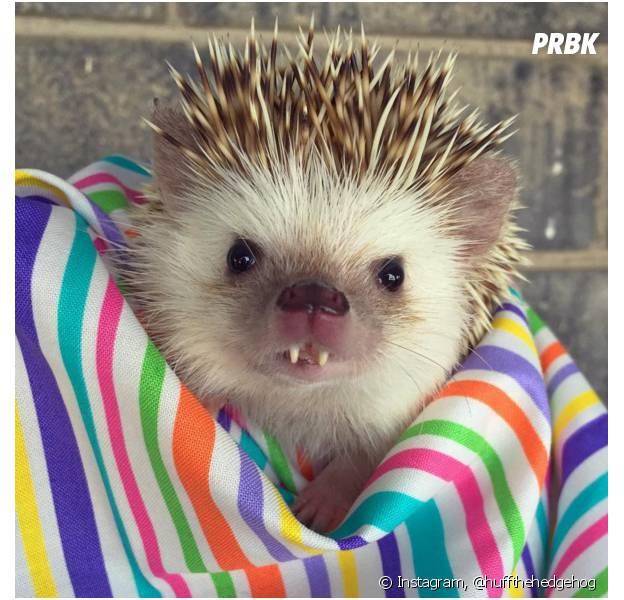 Ce bébé hérisson aux dents de vampire est une vraie star
