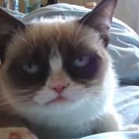 Grumpy Cat au cinéma : oubliez Garfield, la future star, c'est lui !