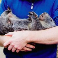[CUTE] Douglas, le wombat de compagnie le plus câlin de tous les temps