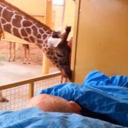 [CUTE] Emouvant : une girafe dit adieu à un employé de zoo atteint d'un cancer