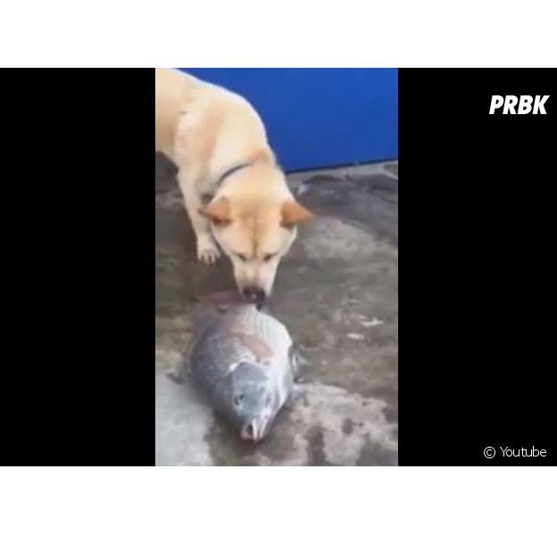 Un chien essaye de sauver des poissons qui viennent d'être péchés : la vidéo cute