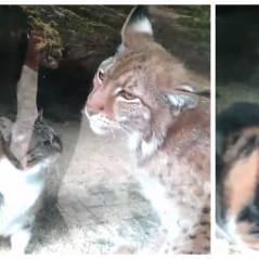 Adorable : l'amitié étonnante entre un chat et un lynx au zoo de Saint Pétersbourg