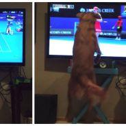 Craquant : un chien est complètement accro au tennis à la télé