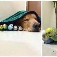 Trop mignon : un chien Golden Retriever adopte huit oiseaux et un hamster !