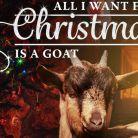 WTF : un album de chansons de Noël chantées par... des chèvres !