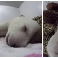 Ce bébé ours polaire assoupi est la chose la plus mignonne que vous verrez cette semaine !
