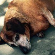 Skinny Vinnie : le chien obèse Fat Vincent a incroyablement maigri