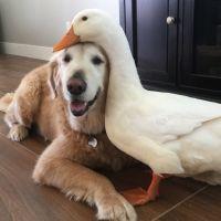 Trop cute : un canard et un chien sont devenus BFF (photos)