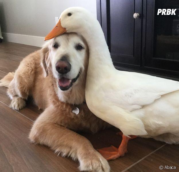 Rudy et Barclay : l'amitié originale et trop chou entre un canard et un chien !